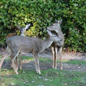 Deer at Sehmel_c276959e9895ee4a497b2606cbbf70faf24c21bd_960x639_Q75